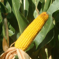 Maïs demi-précoce ELZEA Rédigo
