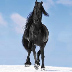 Avoine BLACK BEAUTY noire non traité