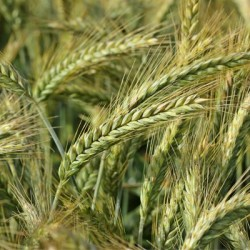 Triticale RGT OMEAC VIBRANCE GOLD