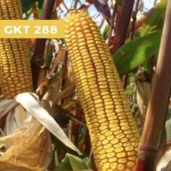 Maïs précoce GKT 288 MAXIM XL 035 FS