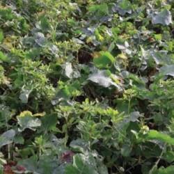 Couverts Plante-compagne COLZA n°6 non traité