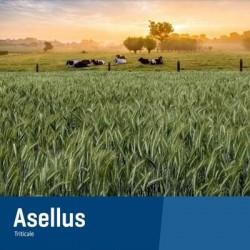 Triticale ASELLUS AB non traité