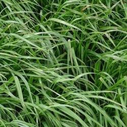 Ray grass Anglais JURAS non traité