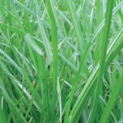 Ray grass Anglais LOBRAC non traité