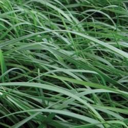 Ray grass Anglais TENACE non traité