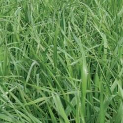Ray grass hybride PLETOR non traité