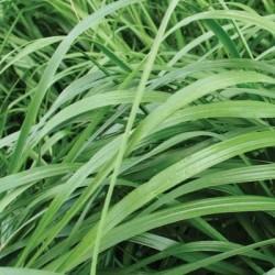 Ray grass d'Italie FORUM