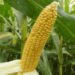 Maïs précoce FASHION INFLUX
